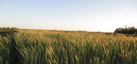 Harvest on Prairie Heritage Farm involves many crops, including heritage and ancient grains.