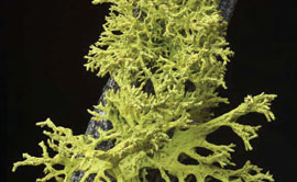 Wolf lichen (Letharia vulpine), a lichen species studied by a team of UM researchers, show that some of the world's most common lichen species actually are composed of three partners, not the widely recognized two.