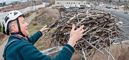 Erick Greene checks out the Hellgate Canyon nest near the new Missoula College Building this past spring.