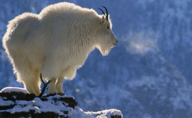 Book Cover: Life on The Rocks: A Portrait of the American Mountain Goat